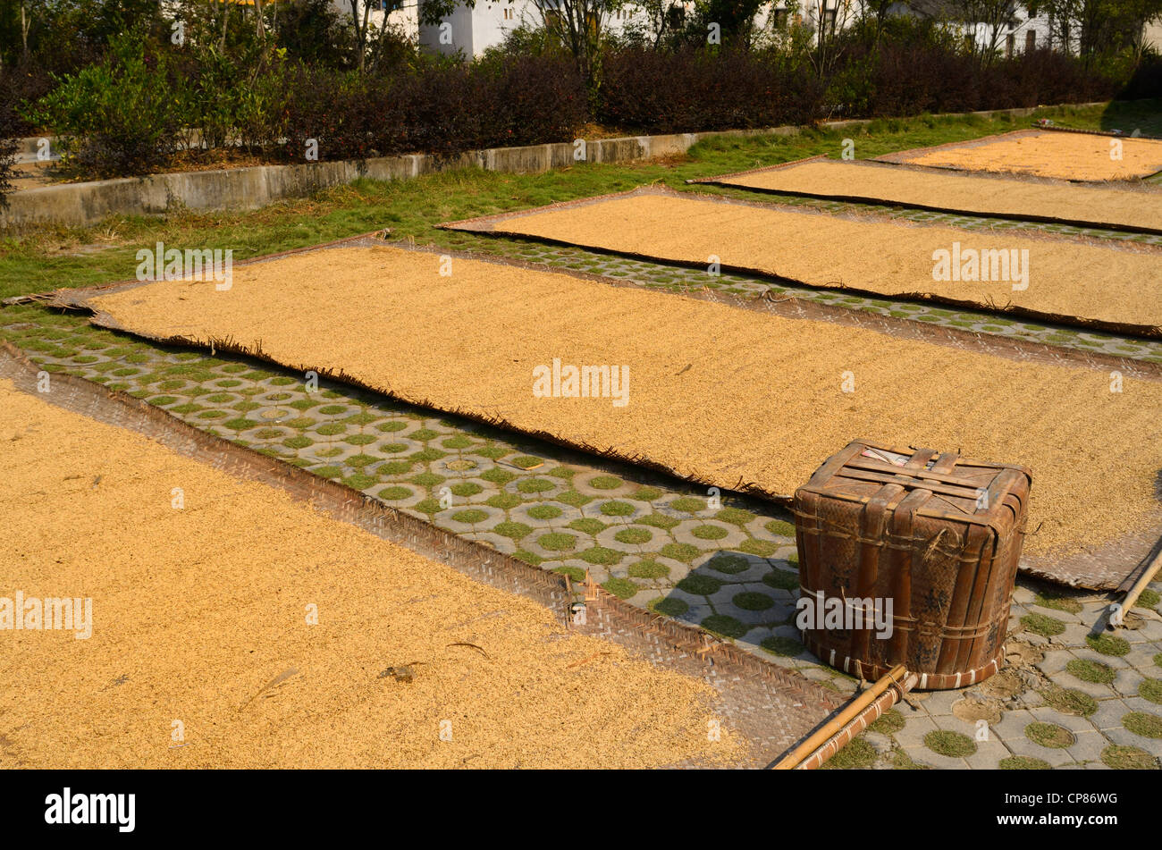 Rice on woven mats drying in the sun in ancient Chengkan village China - Stock Image