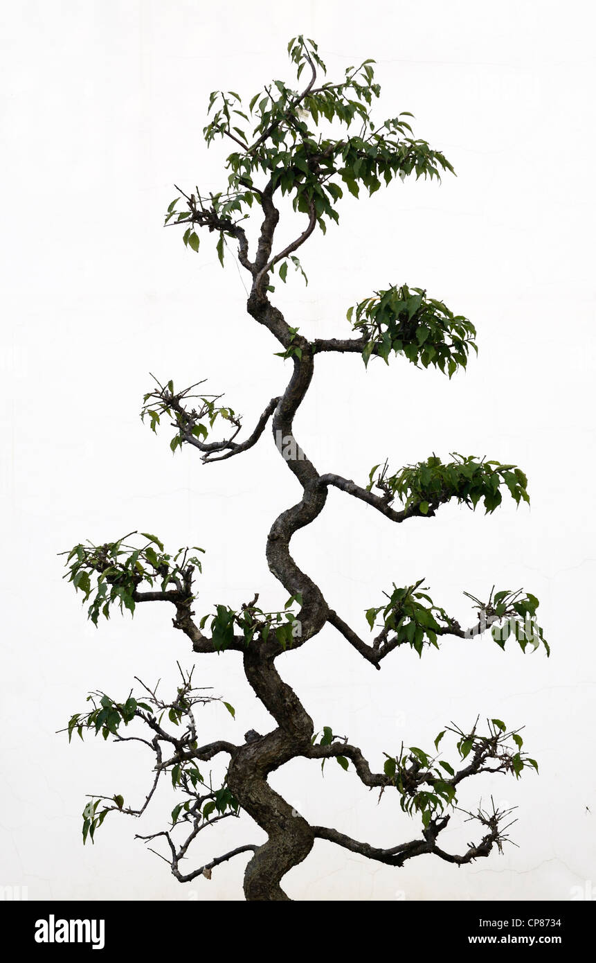 Twisted trunk of a shaped topiary tree on a white wall outdoors in Chengkan China - Stock Image