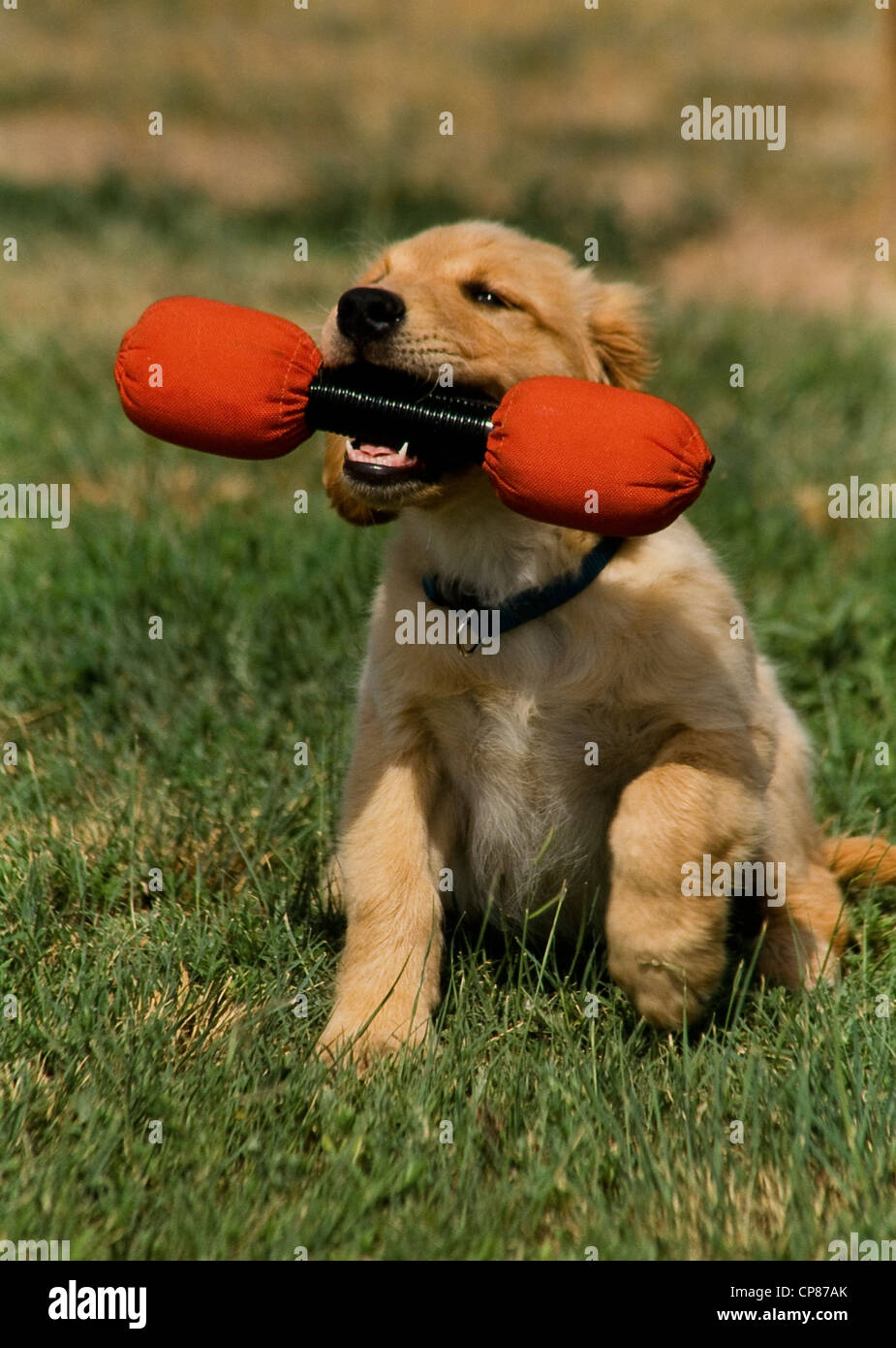 Golden Retriever puppy with dumbbell in mouth - Stock Image