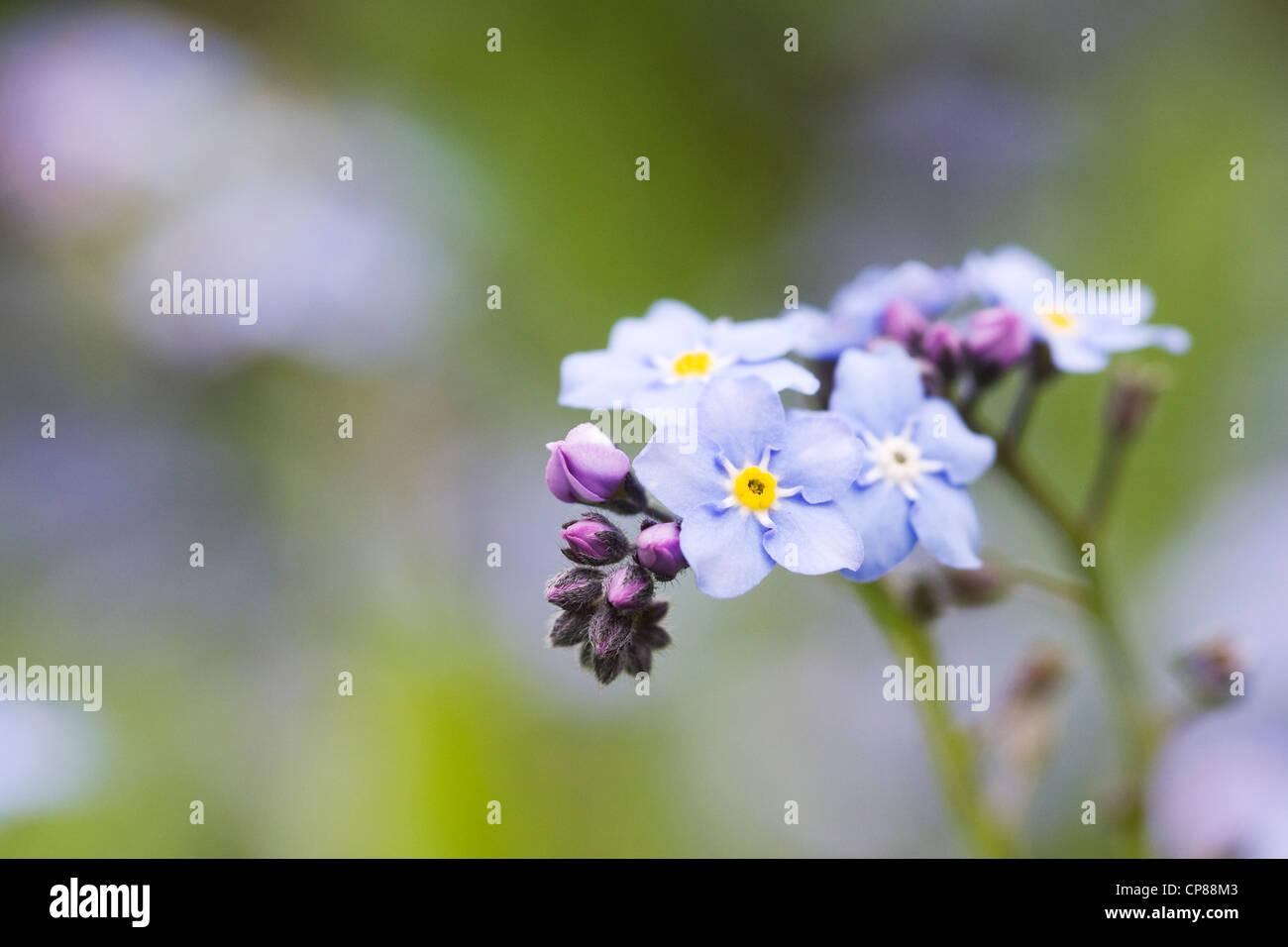 Myosotis sylvatica . Forget me not in an English garden. - Stock Image