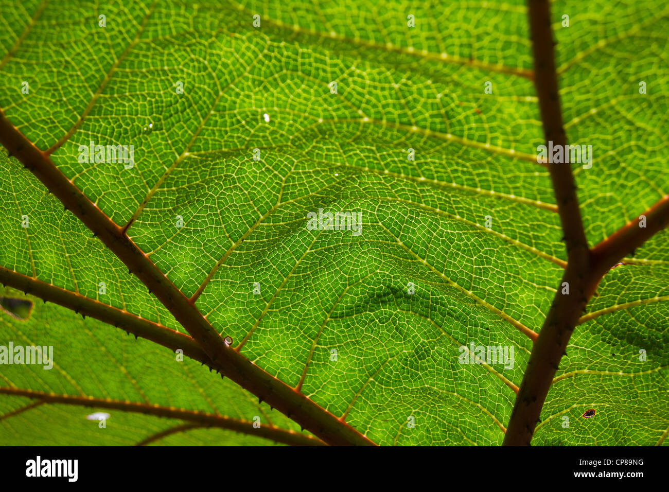Poor Man's Umbrella, Monteverde cloud forest, Costa Rica, Central America - Stock Image