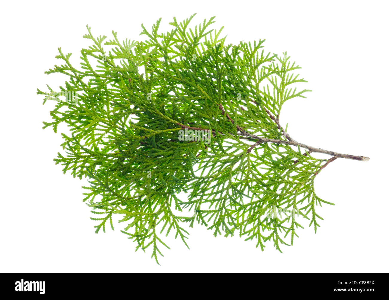 Young sapling of evergreen thuja isolated on white texture background. - Stock Image