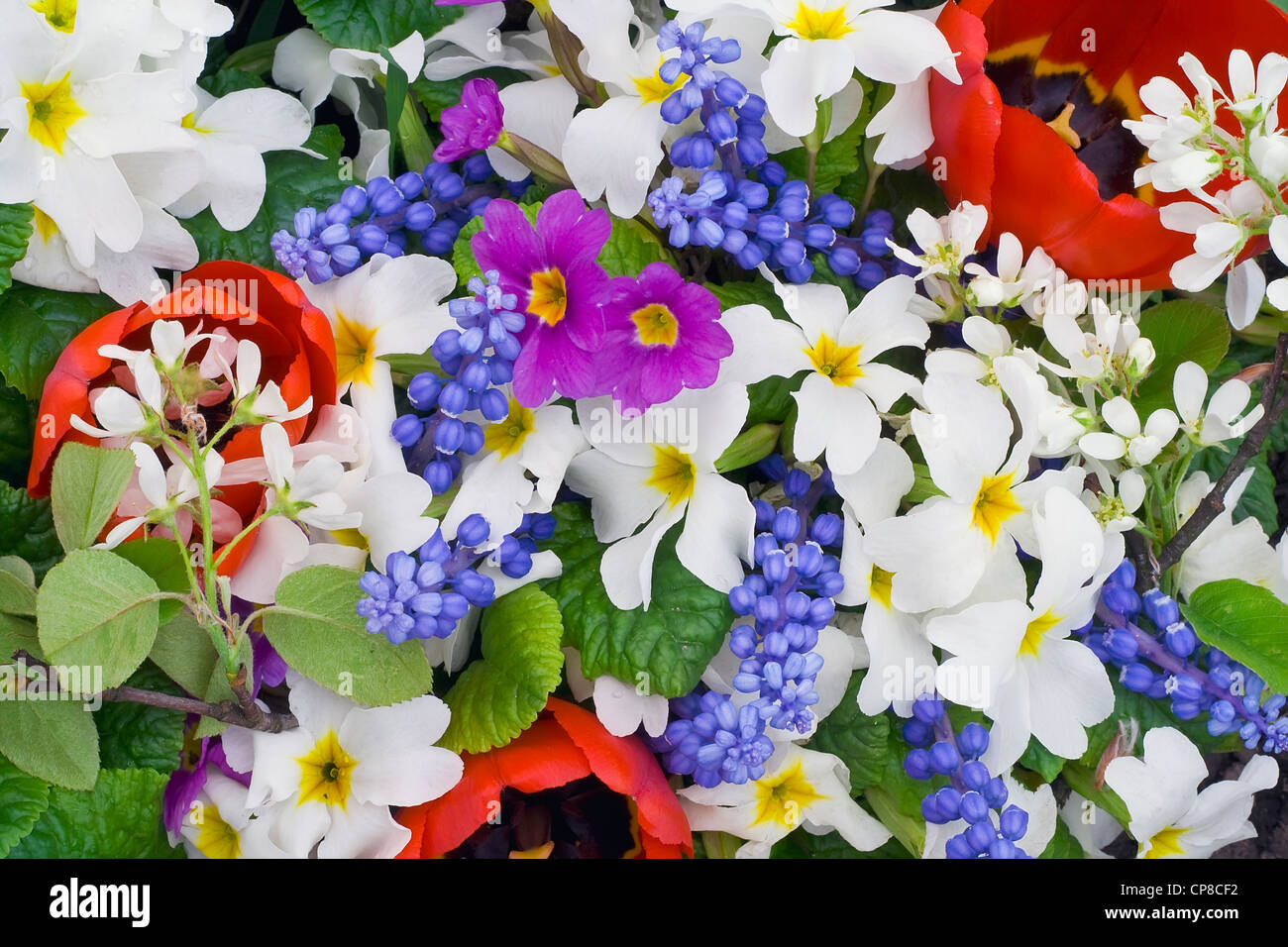 First Springs Flowers Muscari Primroses And Tulips Background Mix