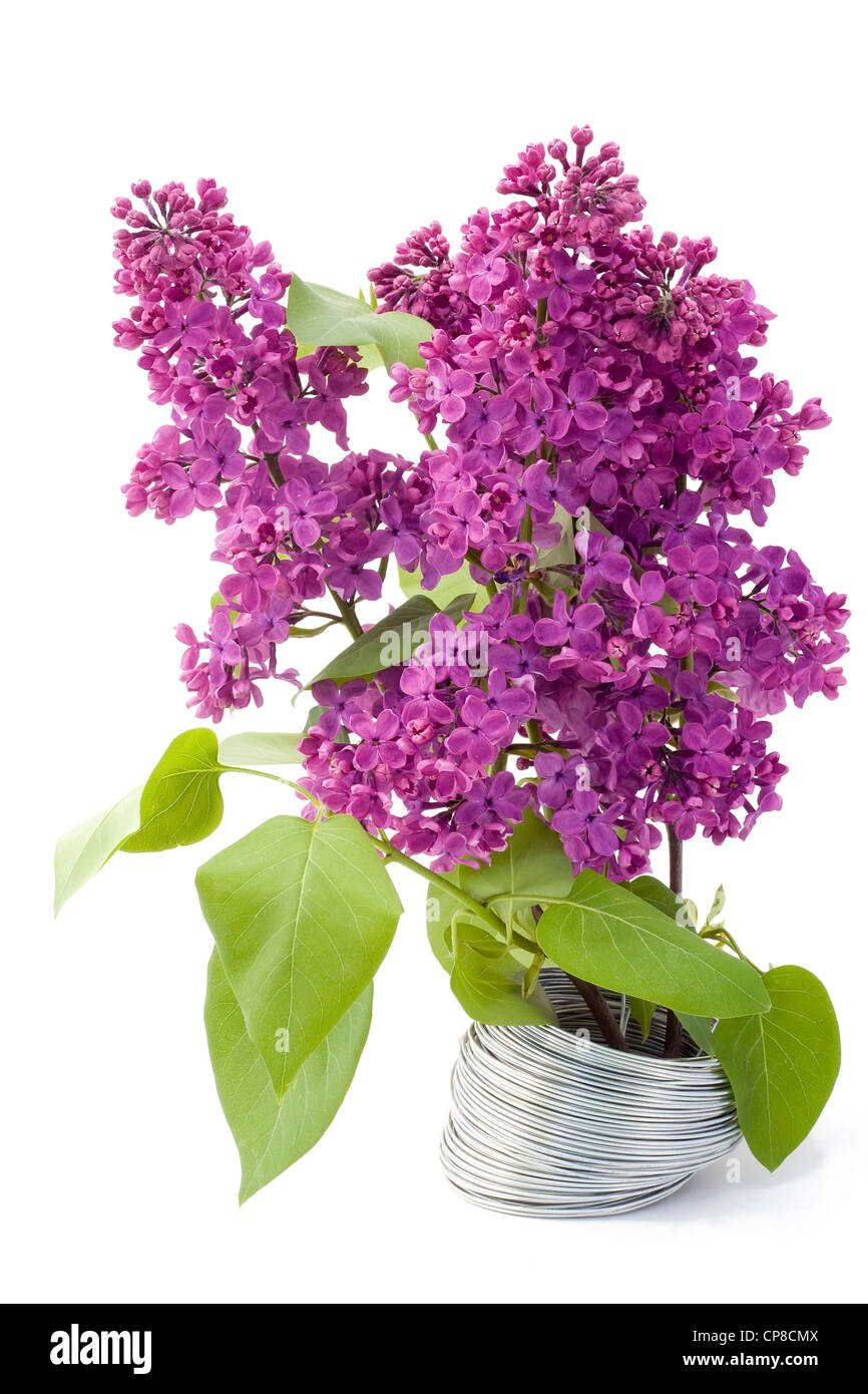 The branch of a purple lilac grows from a steel wire. A victory live over lifeless the concept. Isolated on white. - Stock Image