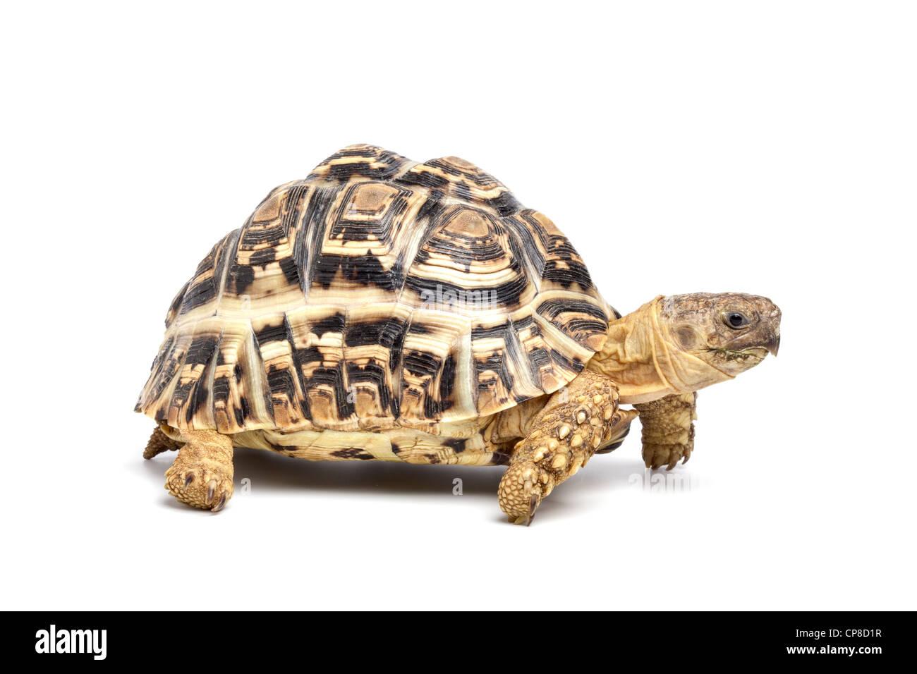 Leopard tortoise, Stigmochelys pardalis - Stock Image