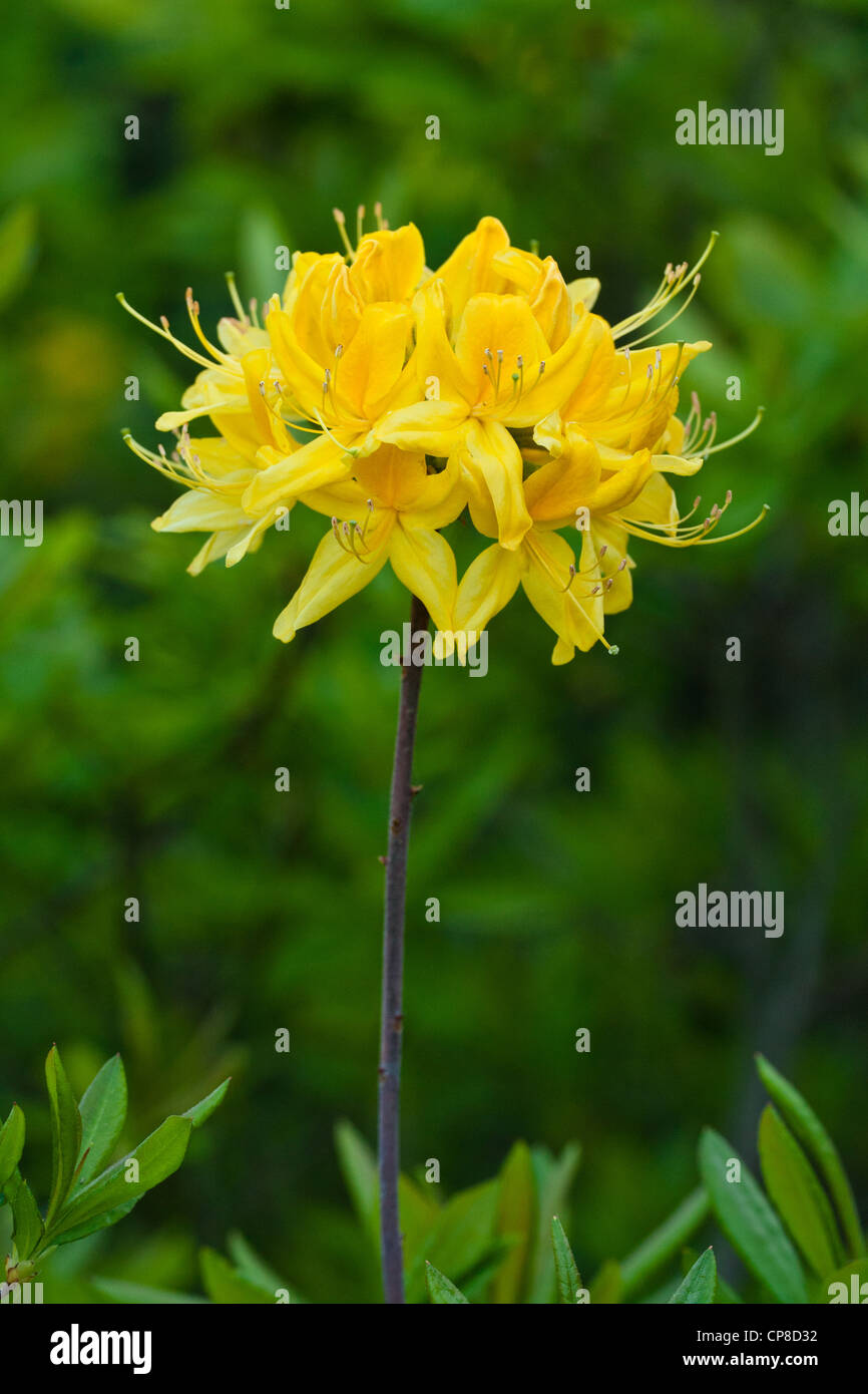 Yellow Azalea (Rhododendron luteum) growing wild, Lesvos, Greece Stock Photo