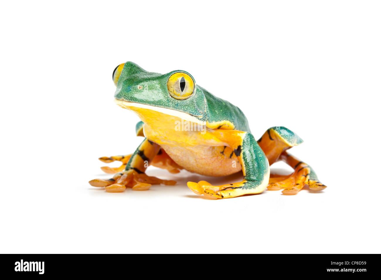 Splendid leaf frog, Cruziohyla calcarifer, Costa Rica Stock Photo