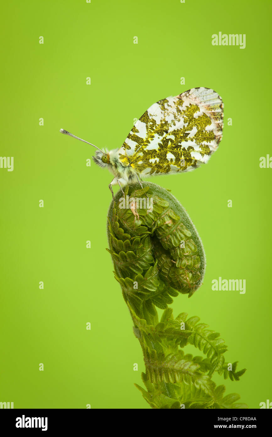 Orange-tip butterfly, male, Anthocharis cardamines, Yorkshire, May Stock Photo