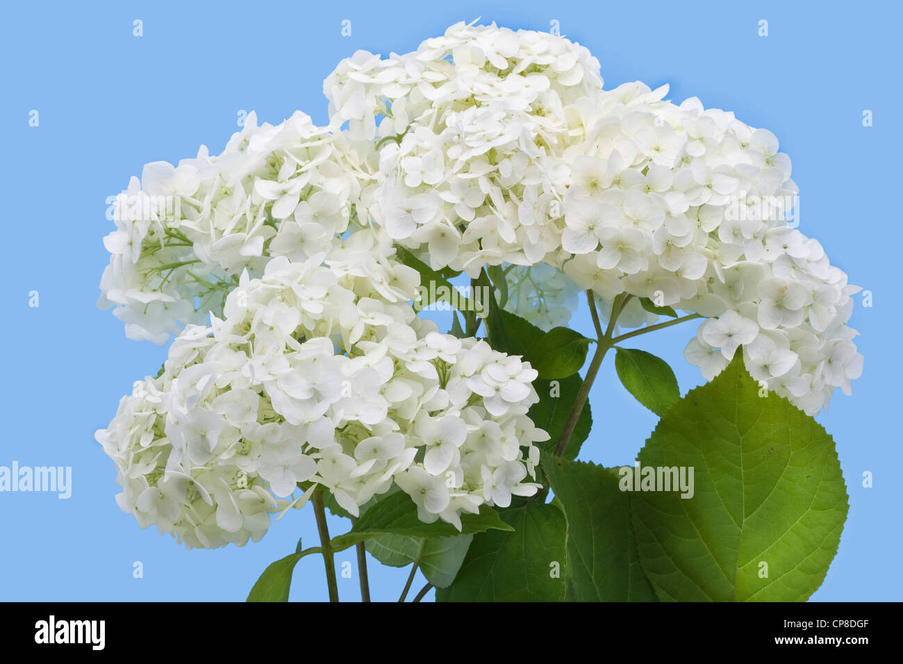 Isolated on cyan flowers of a garden white hydrangea - Stock Image