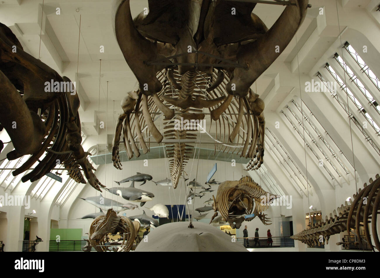 Whale skeleton. Natural History Museum. London. United Kingdom. - Stock Image