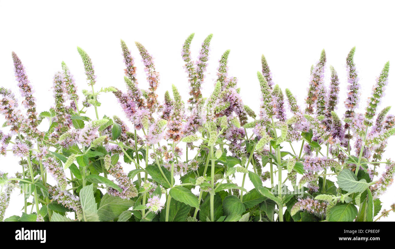 Border from a blossoming garden peppermint 'Lamiaceae (Labiatae) '. Isolated on white. - Stock Image