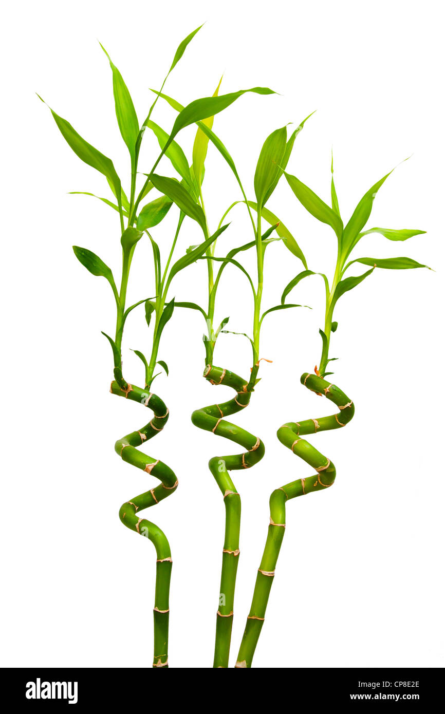 Three decorative helicoid sprouts of a green bamboo isolated on white Stock Photo