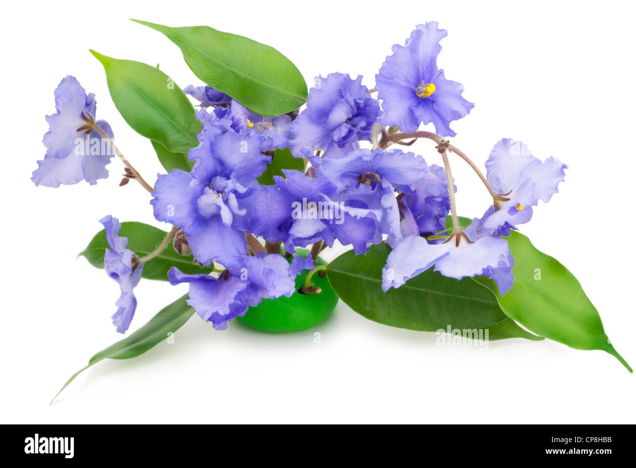 Gentle blue violets flowers isolated on white - Stock Image