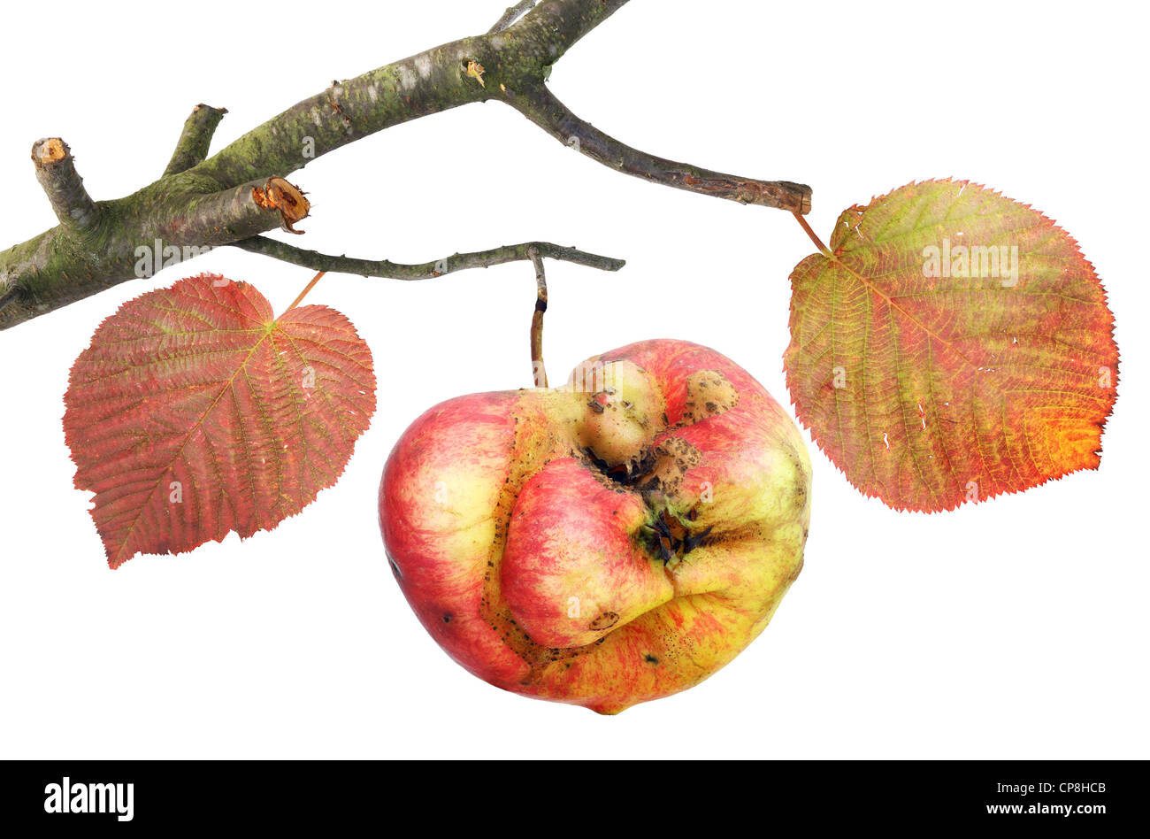Tasteless curve apple on a branch a simple collage isolated - Stock Image
