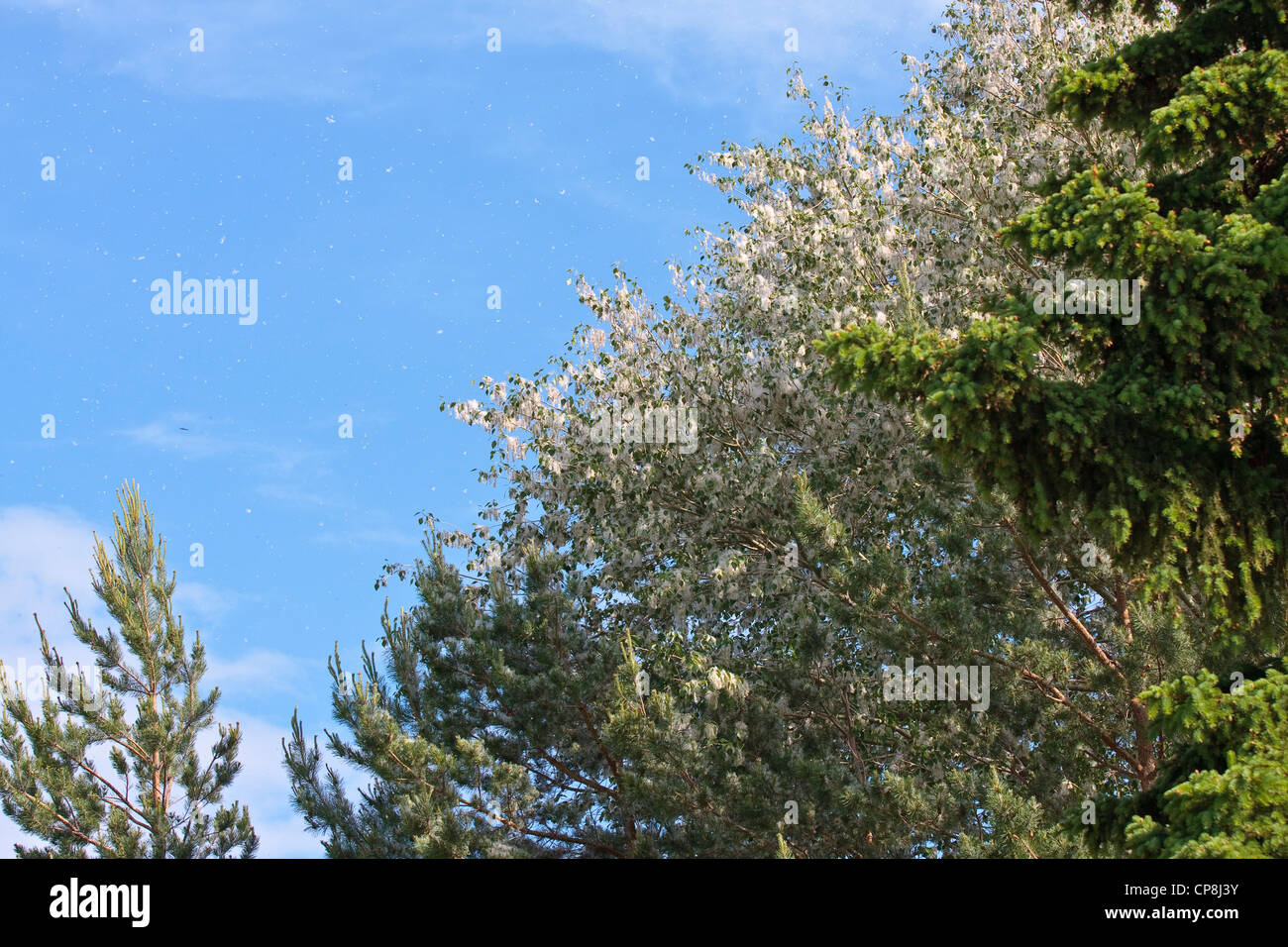 Poplar fluff drifting from trees in spring. - Stock Image