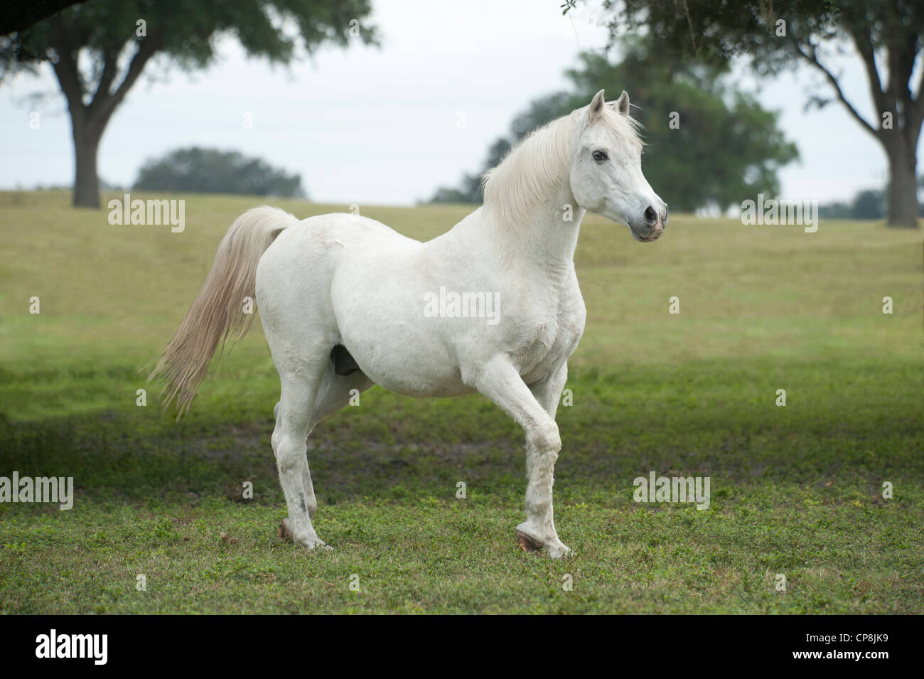 Arabian Horse High Resolution Stock Photography And Images Alamy