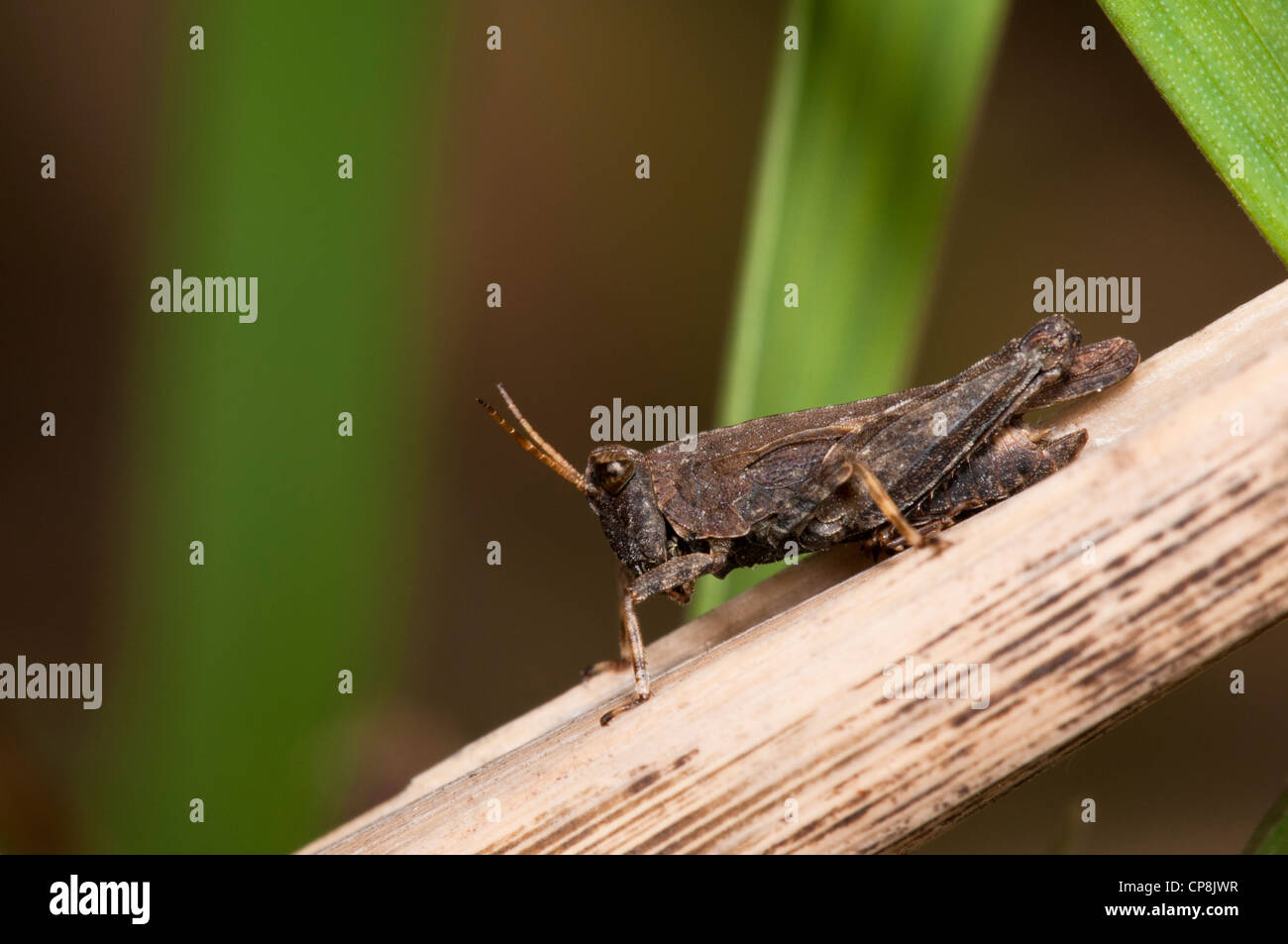 A groundhopper (Tetrix subulata) perched on a reed stem at Crossness Nature Reserve, Bexley, Kent. May. - Stock Image