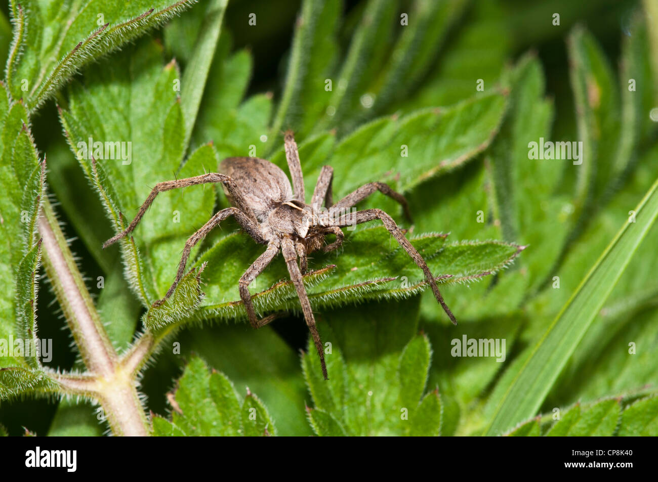 A female nursery web spider (Pisaura mirabilis) perched on a leaf at Crossness Nature Reserve, Bexley, Kent. May. - Stock Image