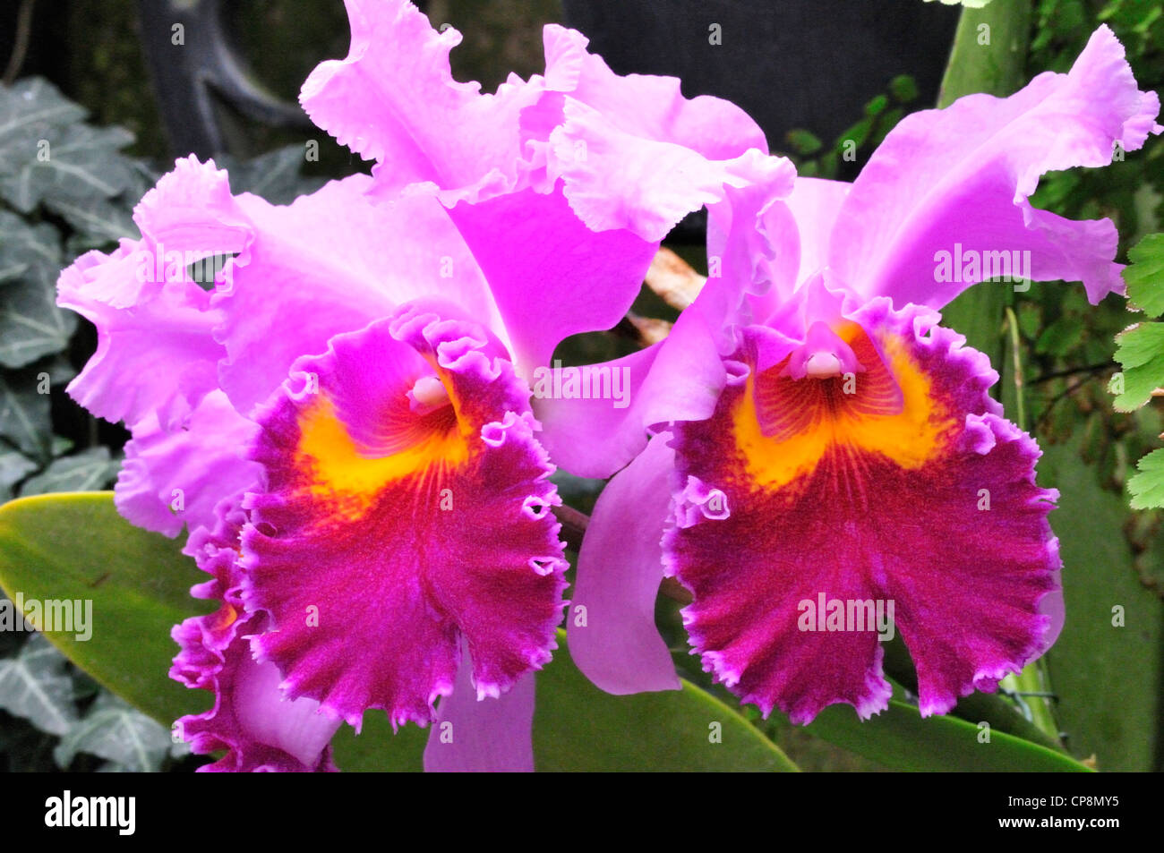 Cattleya Lavender Valentine, a member of the orchid family - Stock Image