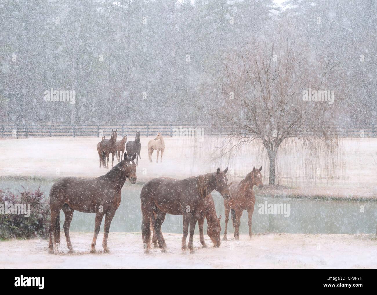 Herd of mares in snowstorm - Stock Image