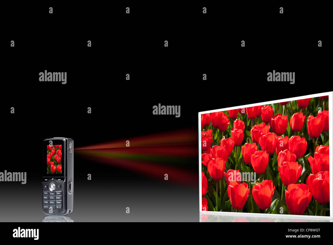 Tulip bed on projection screen through mobile phone, close up - Stock Image