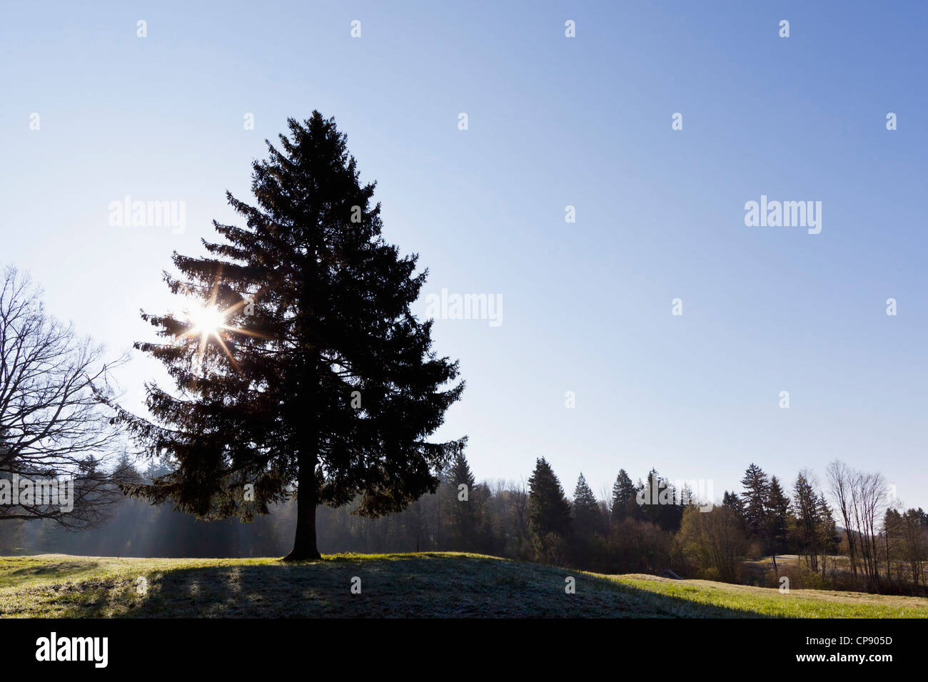Germany, Bavaria, View of fir tree with sun - Stock Image