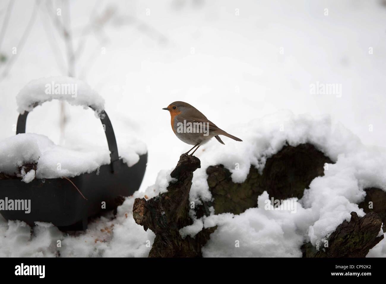 European Robin in snow - Stock Image