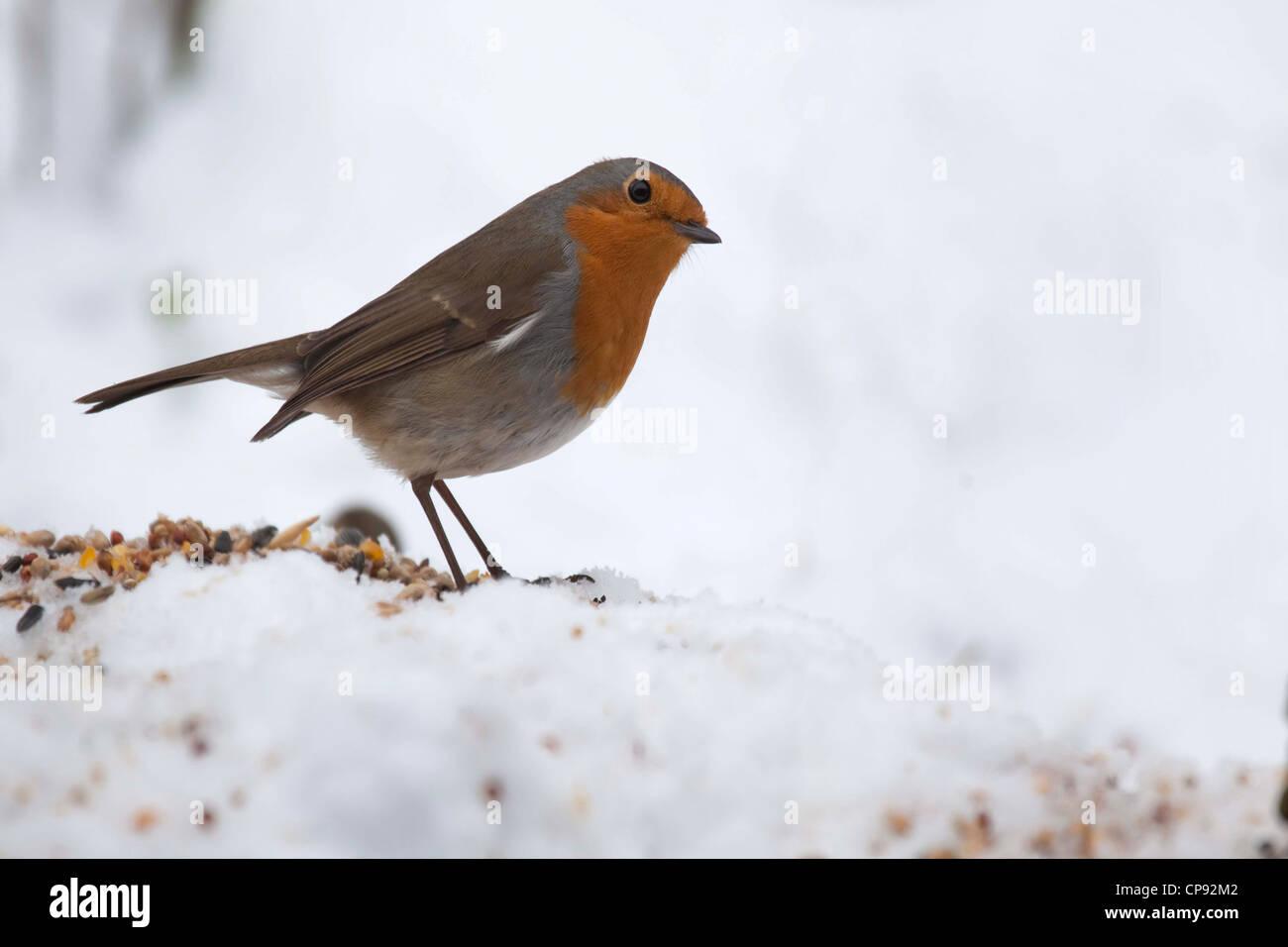 European Robin, Feeding in snow - Stock Image