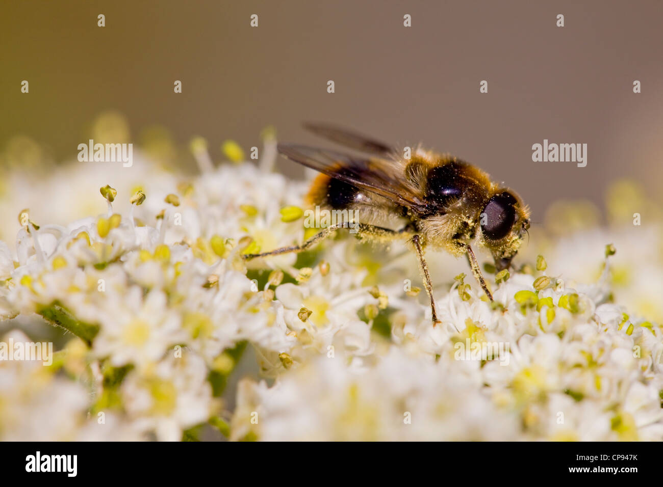 Narcissus bulb fly ( Merodon Equestris ) Stock Photo