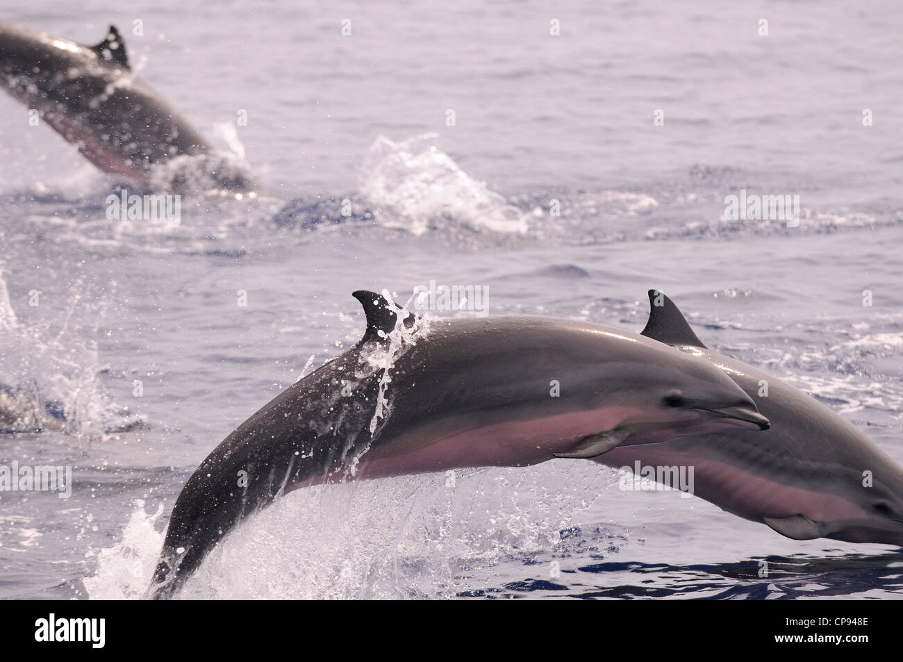 Fraser's Dolphin (Lagenodelphis hosei) or Sarawak Dolphin, leaping out of the sea, The Maldives - Stock Image