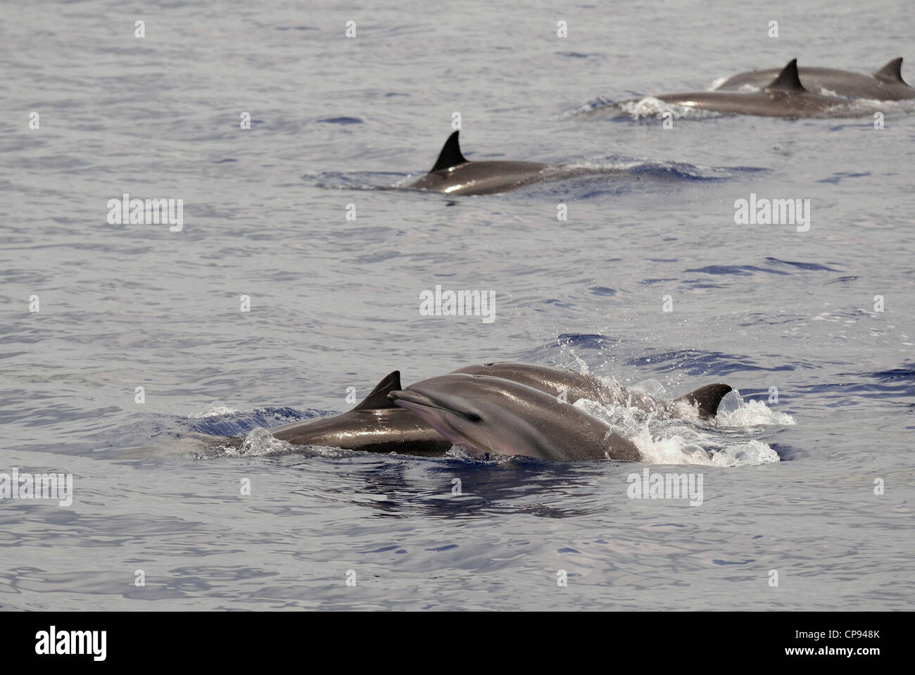 Fraser's Dolphin (Lagenodelphis hosei) or Sarawak Dolphin, group at surface, The Maldives - Stock Image