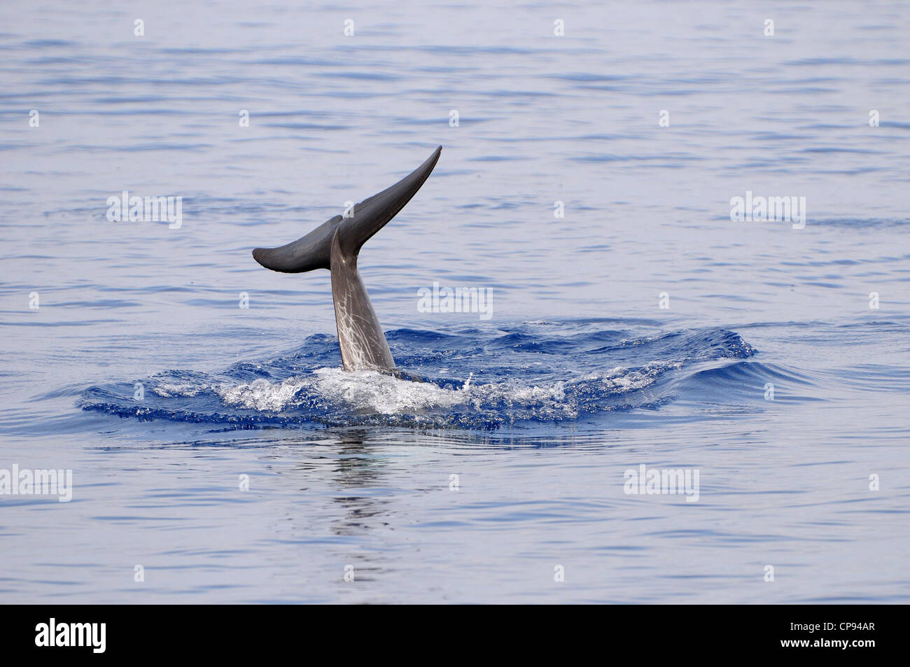 Risso's Dolphin (Grampus griseus) diving, with tail fluke in the air, The Maldives - Stock Image