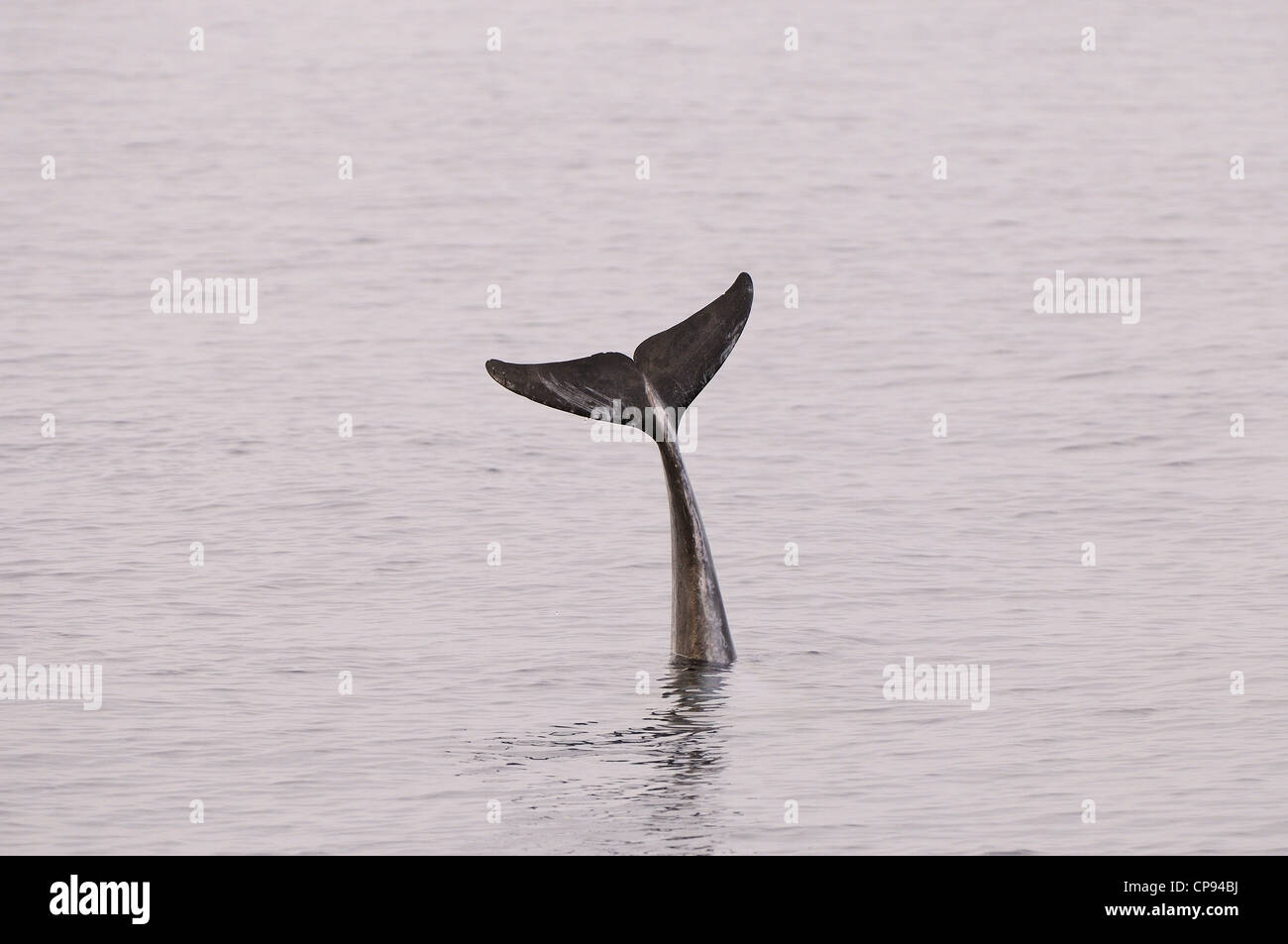 Risso's Dolphin (Grampus griseus) raising tail fluke out of the water, The Maldives - Stock Image