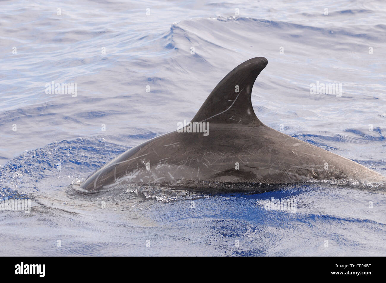 Risso's Dolphin (Grampus griseus) close-up of dorsal fin, The Maldives - Stock Image