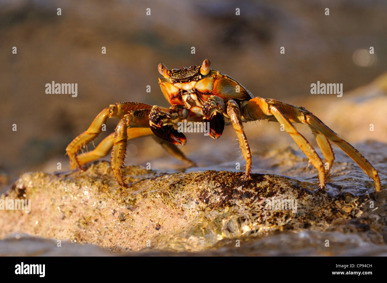 Sally Lighfoot Crab (Grapsus species) resting on rock, The Maldives - Stock Image