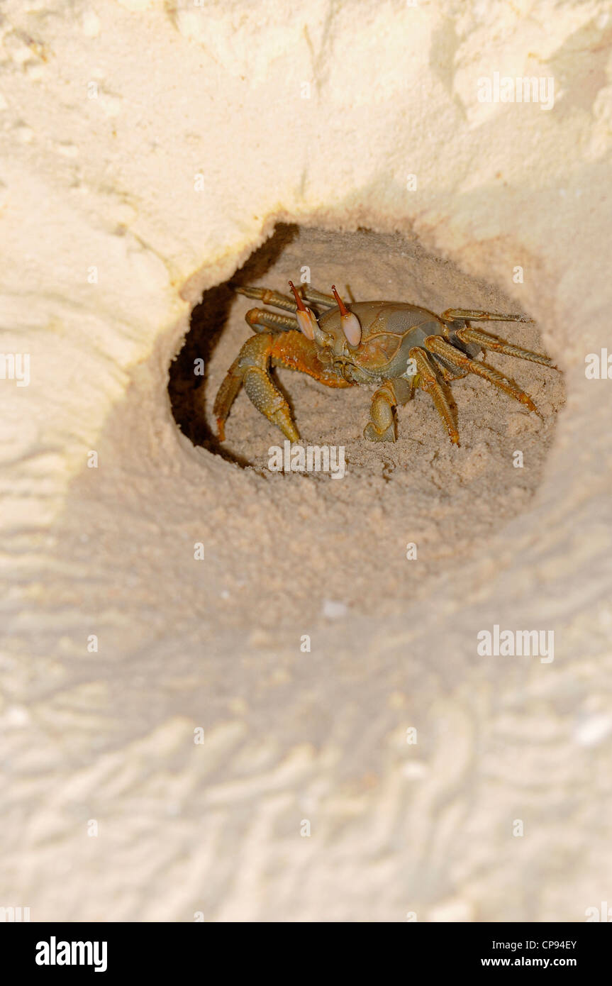 Horned or Horn-eyed Ghost Crab (Ocypode ceratophthalmus) at entrance to burrow in sand, The Maldives Stock Photo