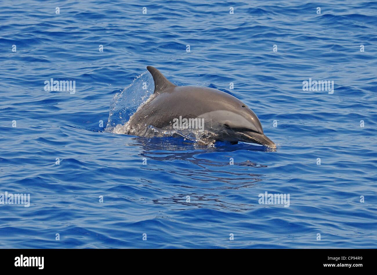 Pantropical Spotted Dolphin (Stenella attenuata) surfacing, The Maldives - Stock Image