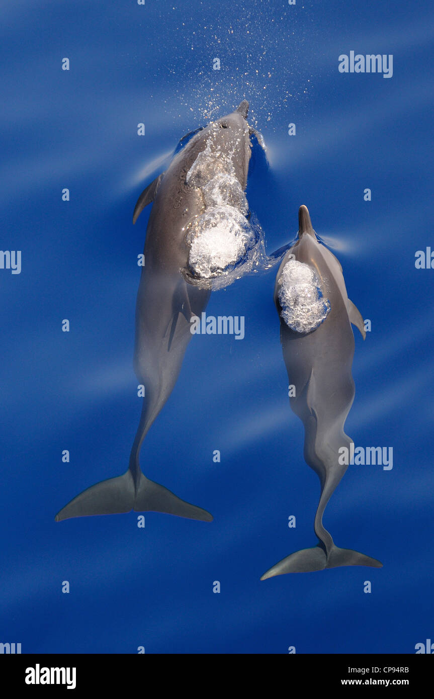 Pantropical Spotted Dolphin (Stenella attenuata) two surfacing together, The Maldives - Stock Image