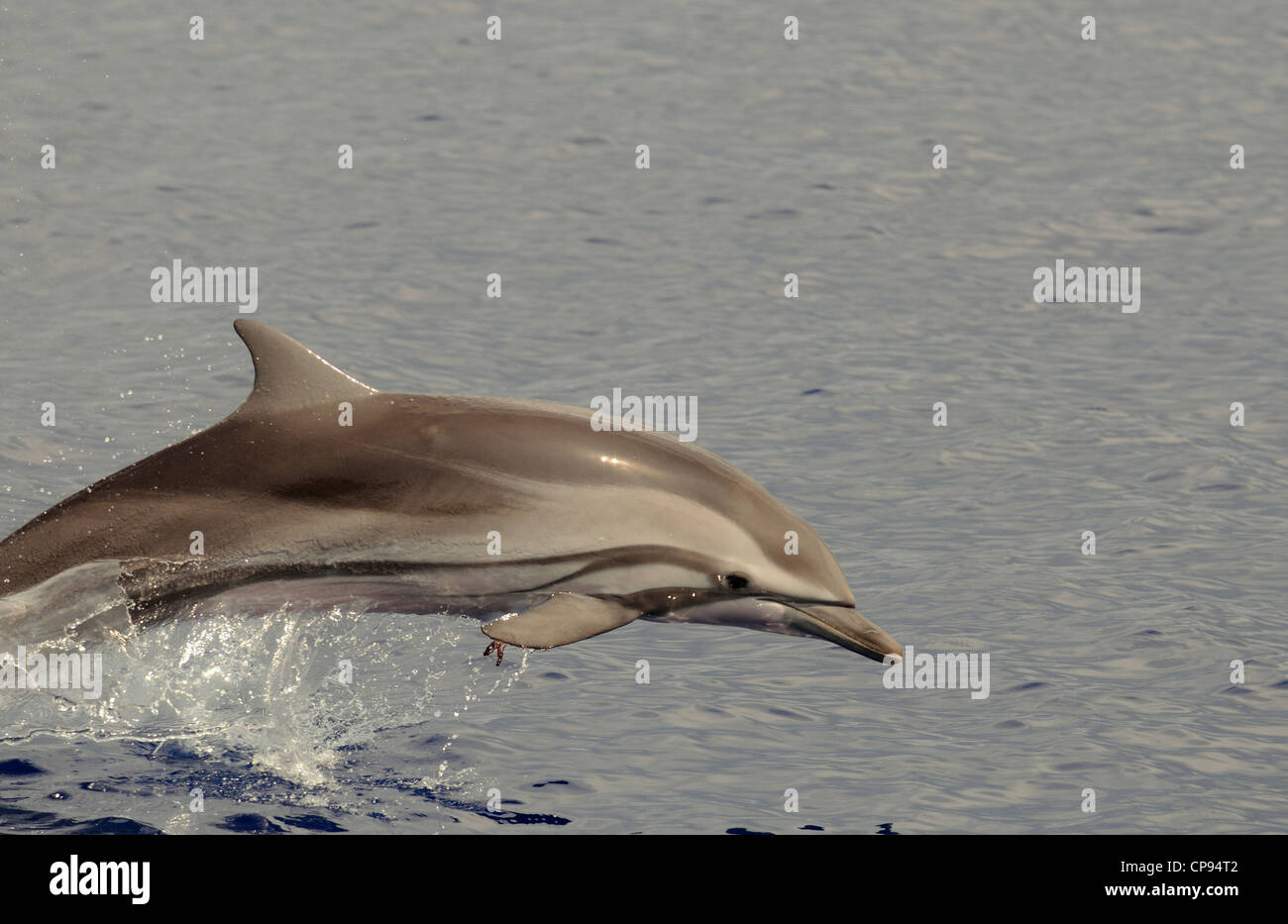 Striped Dolphin (Stenella coeruleoalba) leaping from the water, The Maldives - Stock Image