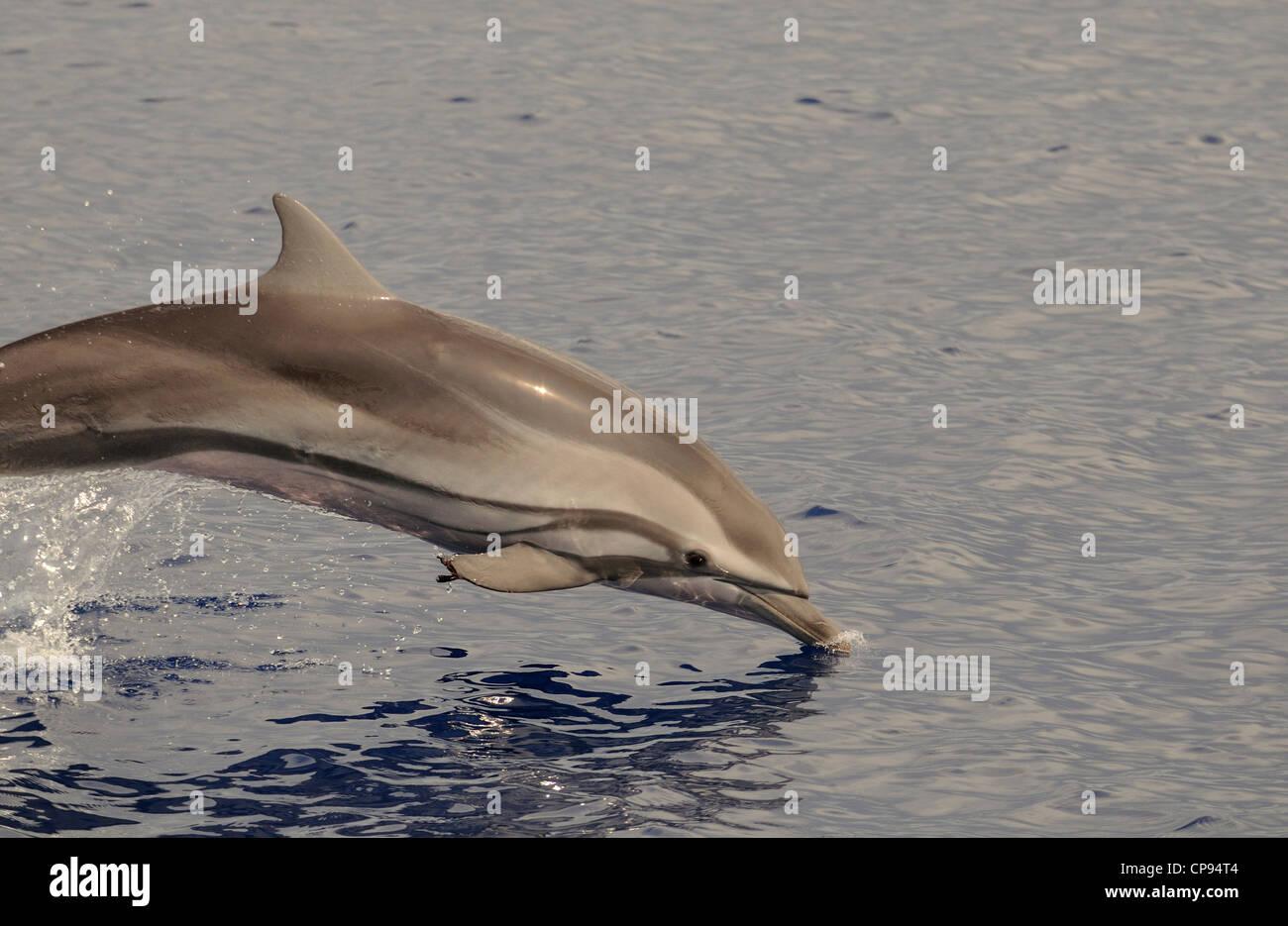 Striped Dolphin (Stenella coeruleoalba) leaping, The Maldives - Stock Image