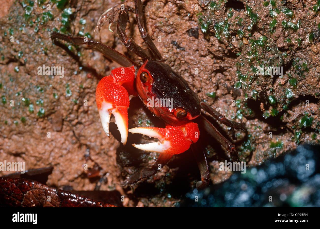 Crab (Sesarma gracilipes: Grapsidae) in coastal rainforest Madagascar - Stock Image