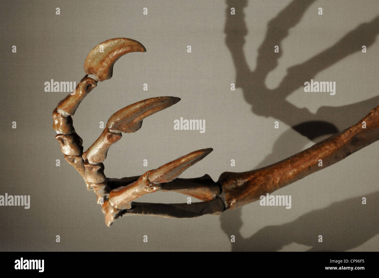 Foreleg of a Deinocheirus (Deinocheirus mirificus). Upper Cretaceous. Maastrichtian stage. - Stock Image