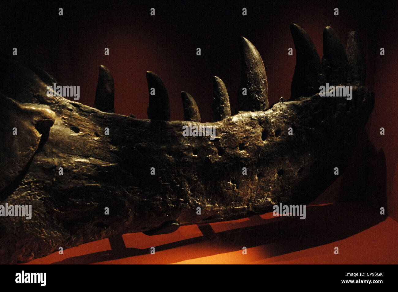 Jaw of the first Tyrannosaurus Rex . Upper Cretaceous. Maastrichtian. - Stock Image