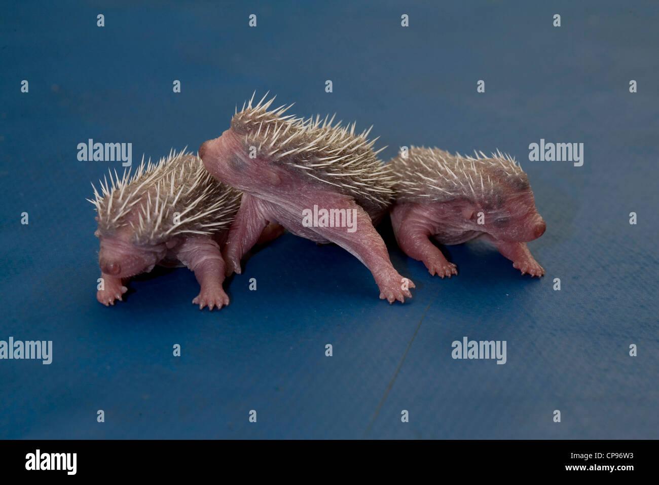 Three Baby Hedgehogs - Stock Image