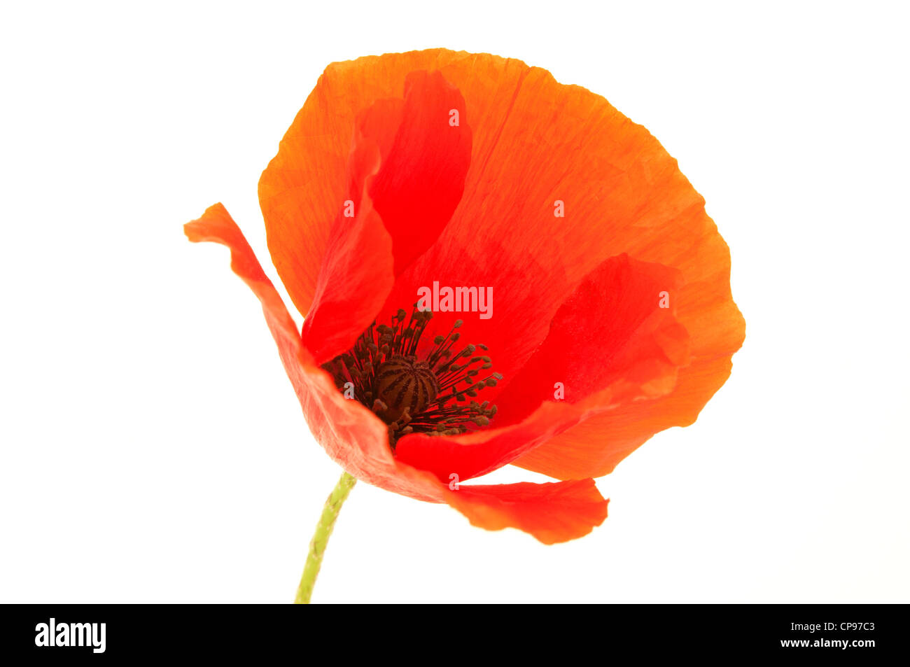 Common Poppy flower on a white background - Stock Image