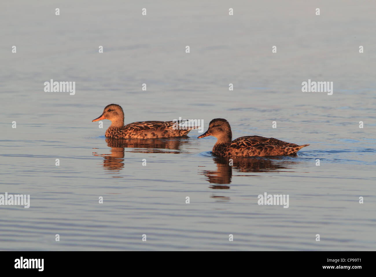 Gadwall (Anas strepera) photographed in the golden morning light at Han Vejle in Denmark - Stock Image