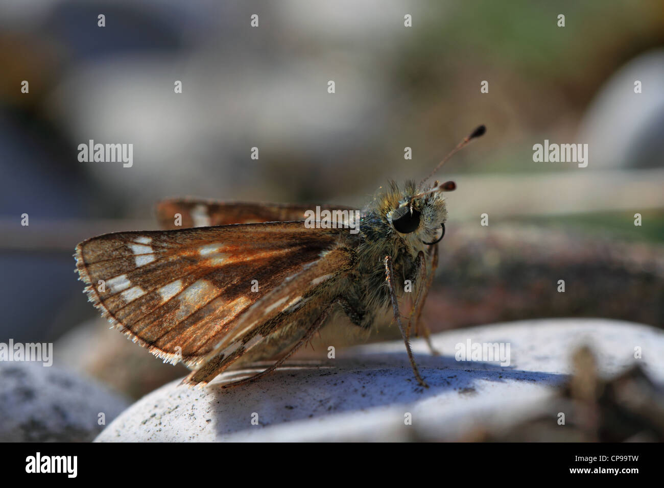 Silver-spotted Skipper (Hesperia comma) resting on the ground Stock Photo