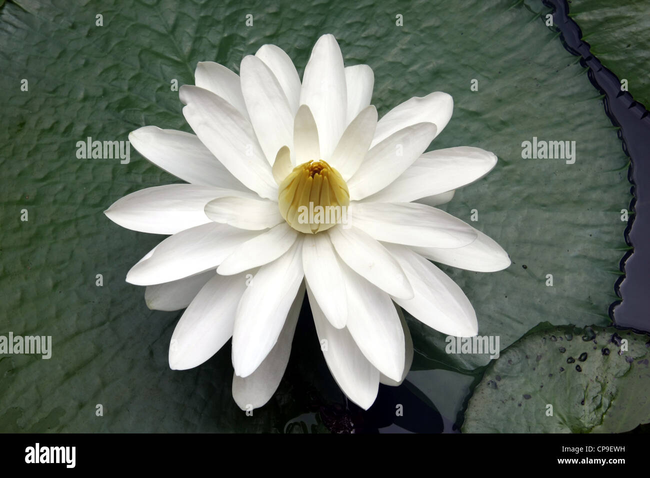 Lotus flower stock photos lotus flower stock images alamy lotus flower in full bloom in phuket thailand stock image izmirmasajfo