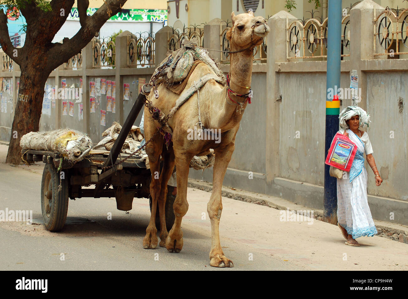 A cart drawn by a camel - Stock Image