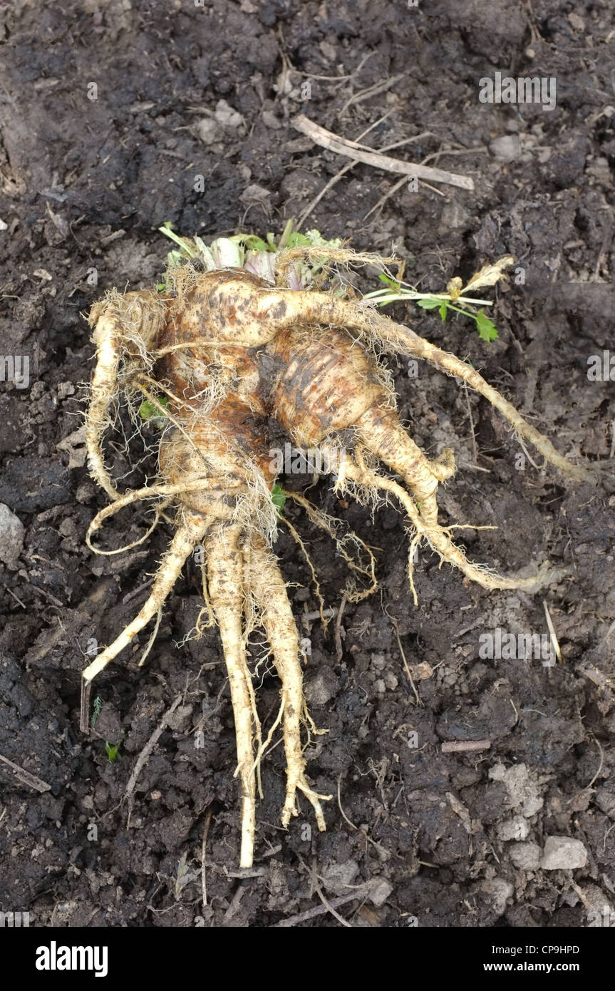A  forked parsnip - Stock Image